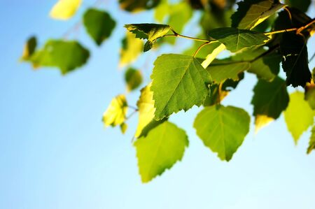 Branch of birch leaves on the blue sky background
