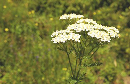 Achillea millefolium (yarrow) - healing herb on the meadow. photo