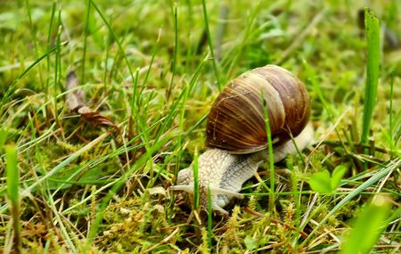 Helix pomatia (grape snail) in the green grass photo