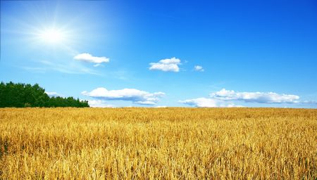 Rye field in a sunny day with dark blue sky Stock Photo - 5415329