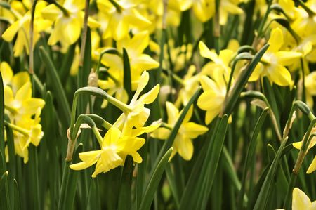 jonquil: Field of beautiful yellow daffodils  in spring time Stock Photo