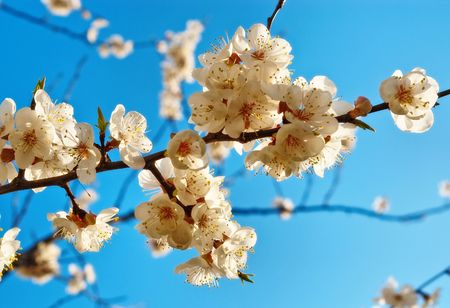 Branch of the apricot tree with white flowers photo