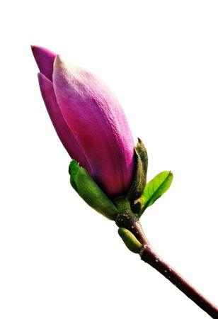 Pink magnolia bud isolated on the white photo