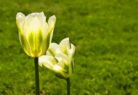 Two yellow beautiful tulips  in spring time photo