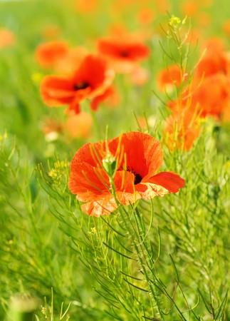 Poppy in a field photo