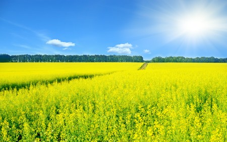 Landscape with rapeseed flowers and sun shining photo