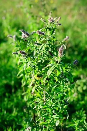 Mint plant photo