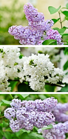 Lilac collage photo
