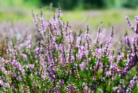 Blooming heather photo