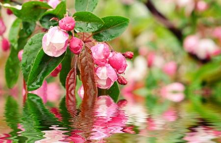 Blossoming of sakura flowers Stock Photo - 9489554