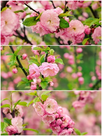 Blossoming of sakura flowers photo