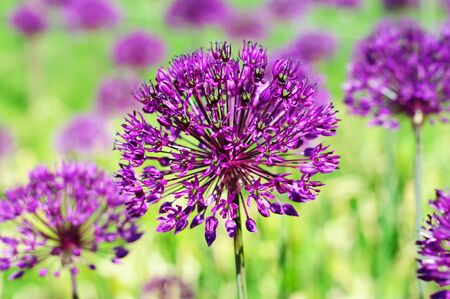 Purple flowers Stock Photo - 9694627