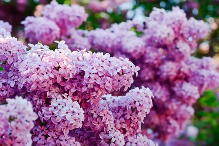Branch of lilac flowers Stock Photo - 9694561