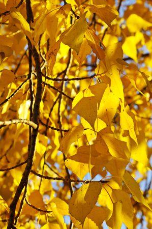 Autumn birch branch photo