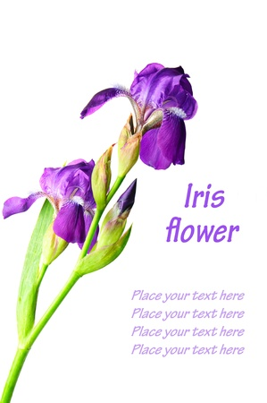 iris blossom: Iris flower Stock Photo