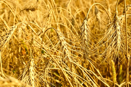 Field with ripe wheat, Stock Photo - 10438509
