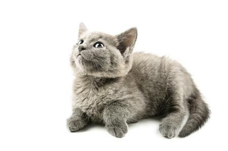 회색 고양이