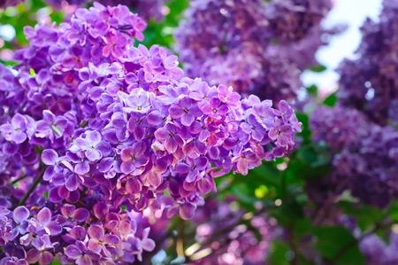 Branch of lilac flowers photo