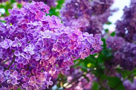 Tak van de lila bloemen