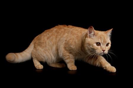 Scottish reinrassige Katze schleicht aus der Dunkelheit