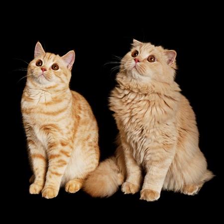Two scottish cats photo