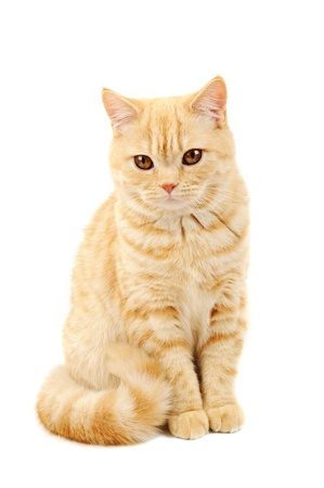 purebred cat: Scottish purebred cat Stock Photo