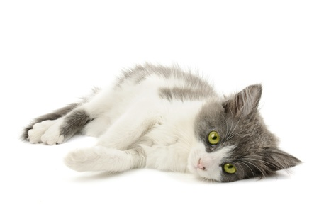 Grey and white kitten Stock Photo - 10831519