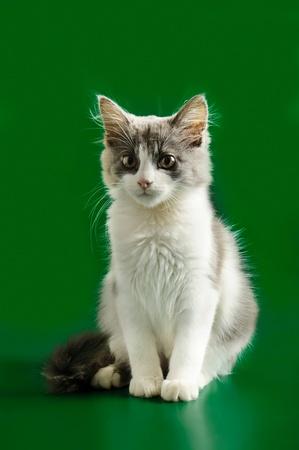 Grey and white kitten Stock Photo - 10863670