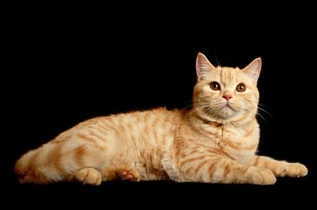 Scottish purebred cat photo