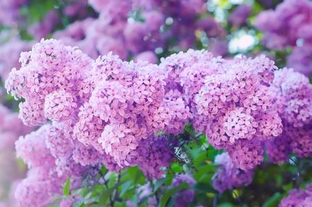 Zweig der lila Blüten