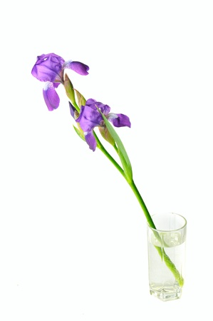 purple irises: Iris flower Stock Photo