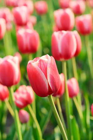 Red beautiful tulips Stock Photo - 11836992
