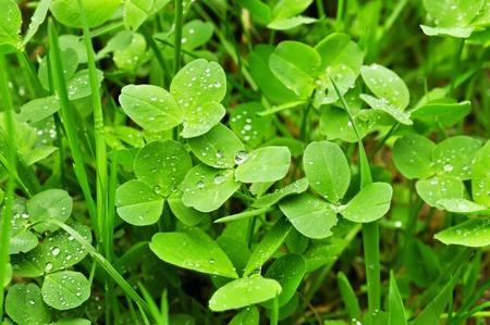 클로버 식물 스톡 콘텐츠