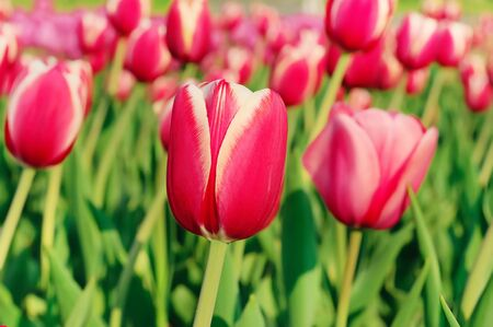 Red beautiful tulips photo