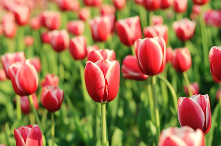 beautiful red tulips close up: Red beautiful tulips