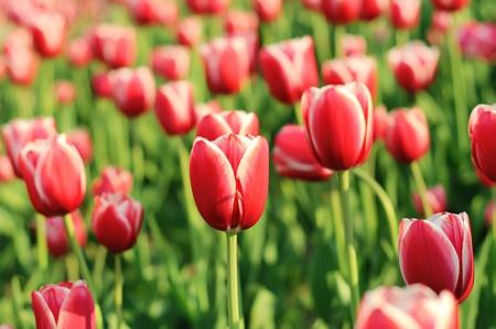 Red schönen Tulpen