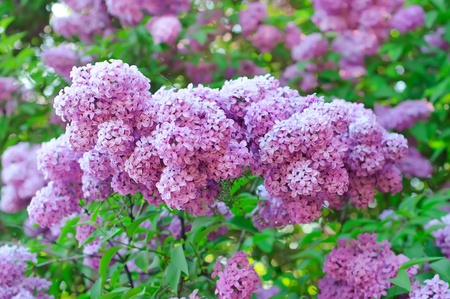 Branch of lilac flowers Stock Photo - 12275525