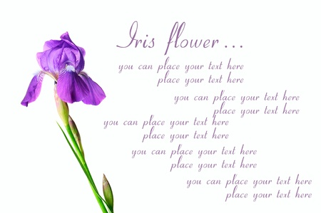 Iris flowers Stock Photo - 12275527