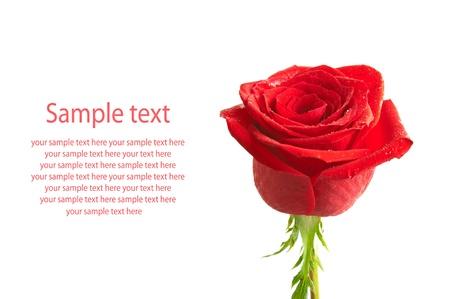rose stem: Rose isolated Stock Photo