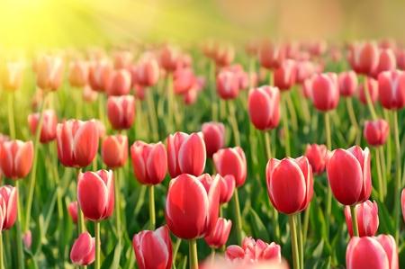 Red beautiful tulips photo