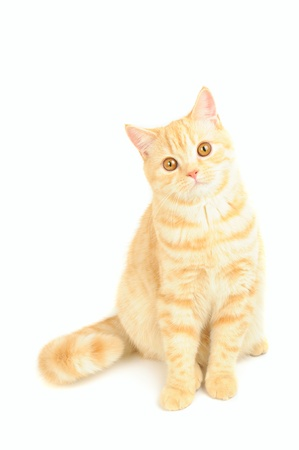 Scottish purebred cat photo