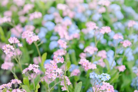 Forget-me-not flowers Stock Photo - 13836962
