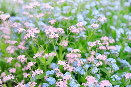 Forget-me-not flowers photo
