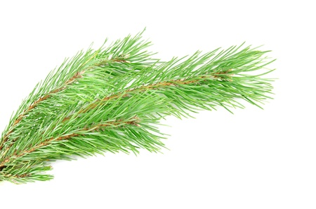 Green pine tree branch isolated on the white Stock Photo - 13967892