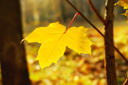 Autumn background with golden maple leaf, selective focus Stock Photo - 13967889