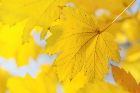 Autumn background with golden maple leaf, selective focus Stock Photo - 13967887