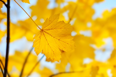 Autumn background with golden maple leaf, selective focus Stock Photo - 13967886