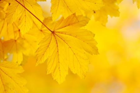Herfst achtergrond met gouden maple leaf, selectieve aandacht Stockfoto