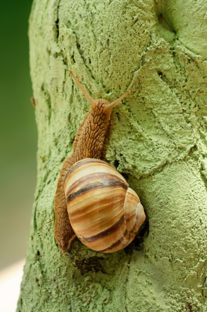 grape snail: Helix pomatia  grape snail  Stock Photo