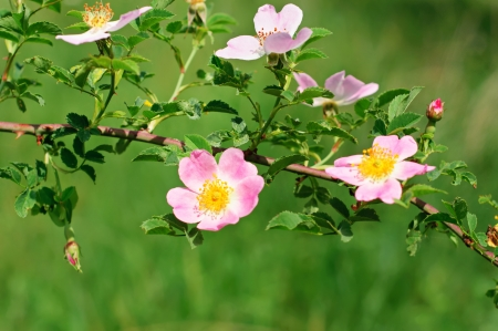 Flowers of dog-rose